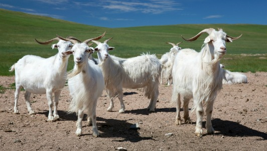 Inner Mongolia Cashmere Goats